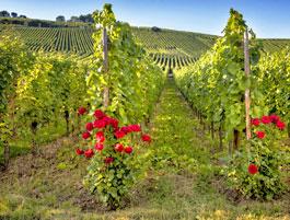 Wijnvelden in de Loire